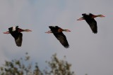 Black-bellied whistling ducks flying