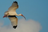 Ibis flying around