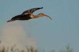Juvenile ibis flying past