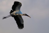 Wood stork flying in