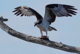 Osprey guarding his fish