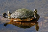 Cooter turtle, keeping its feet dry
