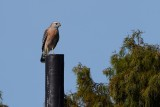 Red-shouldered hawk on the lookout pole