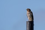 Red-shoulder hawk again on the pole
