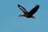Black-bellied whistling duck flying past