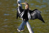 Female anhinga drying in the sun