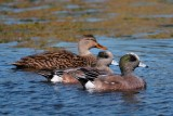 American wigeons and a mottled duck