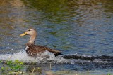 Mottled duck water landing