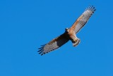 Red-shouldered hawk circling and calling out