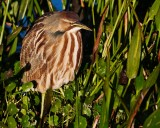 American bittern enjoying the late sun
