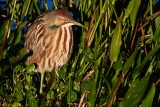 American bittern soaking in the warmth