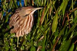 American bittern looking around