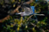 Little blue heron flying past