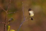 Eastern phoebe on a branch