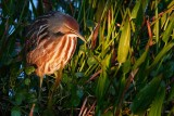 American bittern painted by light through the trees