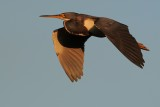 Tricolor heron flying high at sunset
