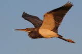Tricolor heron late afternoon flight