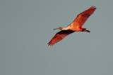 Roseate spoonbill flying in the sunset glow