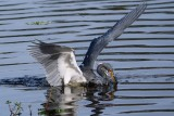 Tricolor heron plunging for a fish
