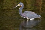 Tricolor heron in the shallows