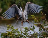 Great blue heron with a stick