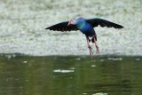 Grey-headed swamphen flying