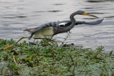 Tricolor heron looking like a roadrunner