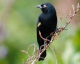 Red-winged blackbird with leucism