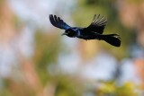 Boat-tailed grackle flying
