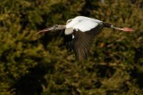 Wood stork flying by