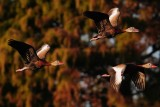Black-bellied whistling ducks flying at sunset
