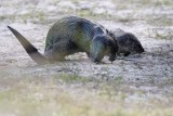 River otters on land