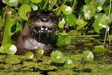 River otter eating a crawfish