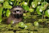 Happy looking river otter