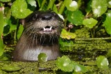 River otter smiling for the camera