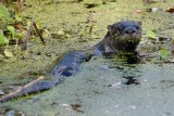 River otter watching me