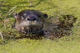 River otter popping out of the duckweed