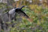 Neotropic cormorant flying