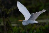 Great egret flying past