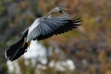 Anhinga about to land