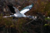 Wood stork with some nest materials
