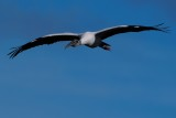 Wood stork flying high