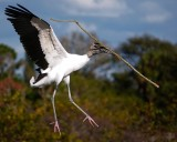 Wood stork with a big stick