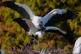 Wood storks mating