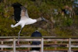 Wood stork hauling sticks