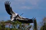 Wood stork arriving with a big stick