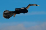 Anhinga male flying by