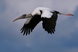 Wood stork flying past
