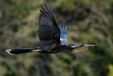 Anhinga hauling nest materials