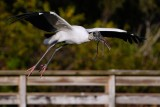 Wood stork with a stick for the nest